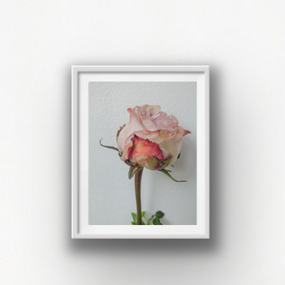 Single Dying Rose framed